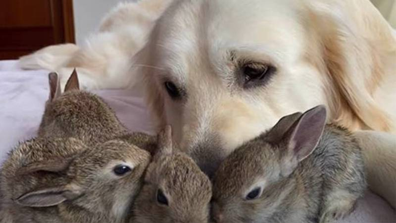 Golden Retriever Who 'Adopted' Bunnies Has More Than 100,000 Subscribers On YouTube