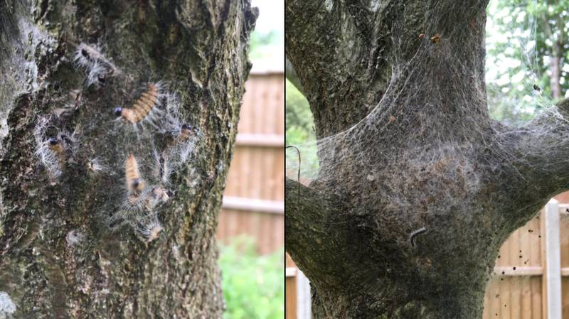 'Toxic' Caterpillars Are In The UK And That's Another Reason To Stay In The Pub