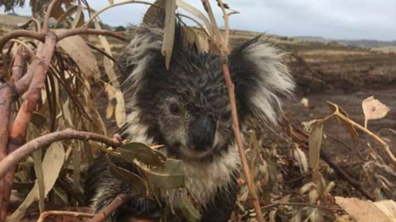 Hundreds Of Koalas Feared Killed During Logging Project In Victoria