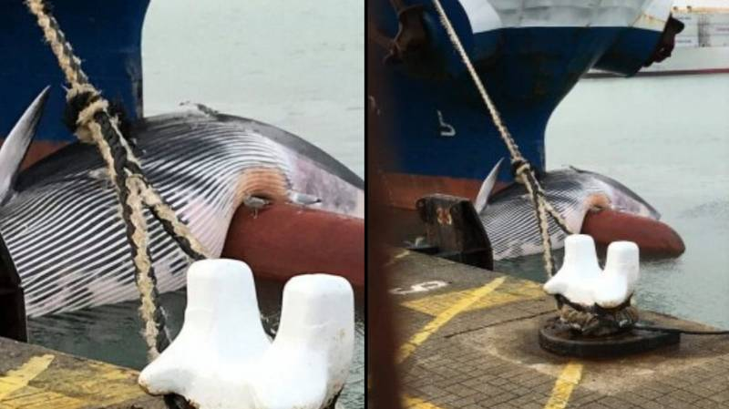 Dead Whale Slumped On Bow Of Ship As It Arrives Into Port