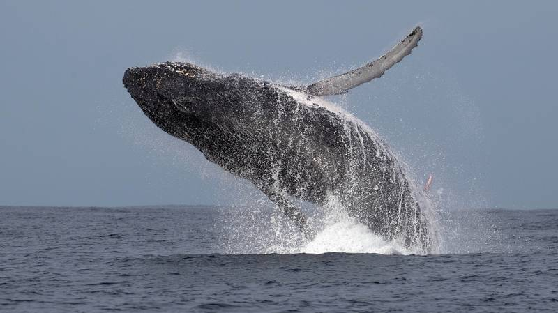 Photographer Captures Rare Moment Humpback Whale Displays 10ft Penis