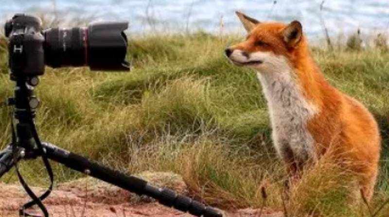 Rare Images Show Orphaned Fox Raised By Two Scottish Photographers