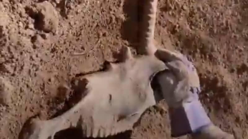 TikToker Claims To Have Found 'Unicorn Skull' In Garden