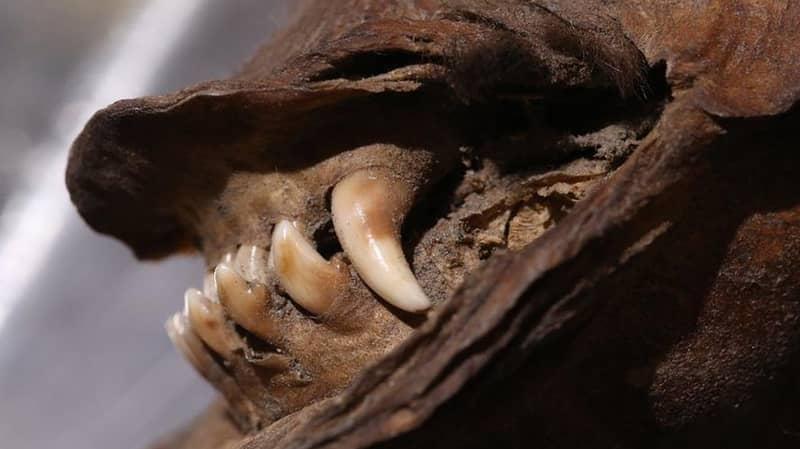 Puppy Frozen 14,000 Years Ago Has Extinct Rhinoceros In Stomach