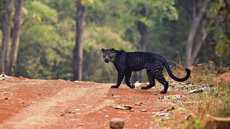 Rare Black Leopard Is Spotted Hunting In Indian National Park
