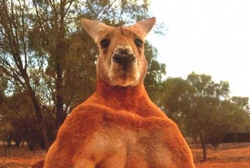 Meet Roger - A Kangaroo That's Willing And Able To Spark You Out