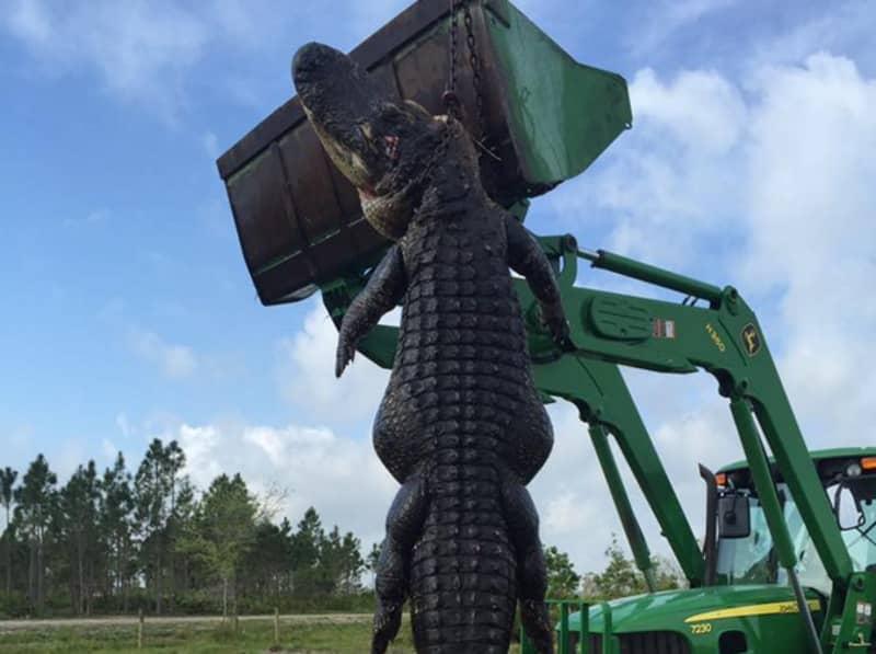 Hunter Finds Huge 15ft-Long Cattle-Eating Alligator