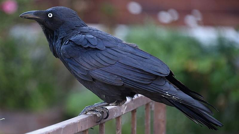 People Are Relating To Crows After Discovering They Form, Nurse And Share Grudges For Years