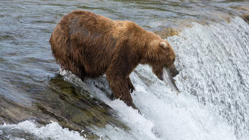 Wildlife Centre Will Name A Salmon After Your Ex, Then Feed It To Bears