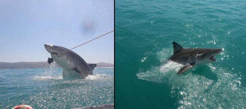 British Tourists Capture Amazing Pictures Of Great White Shark