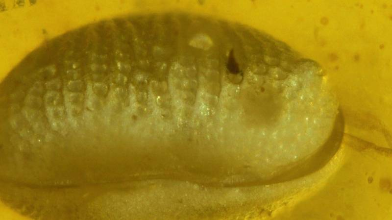 Scientists Discover 100-Million-Year-Old Giant Sperm Cells Preserved In Amber
