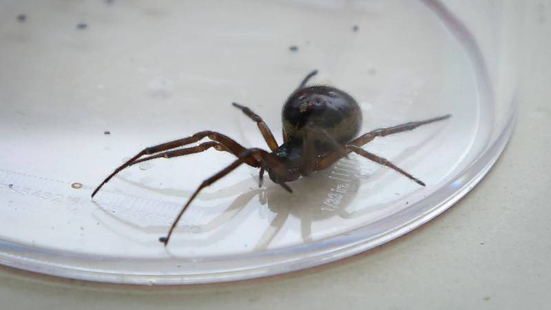 Noble False Widow Spiders Thought To Be On The Rise In UK