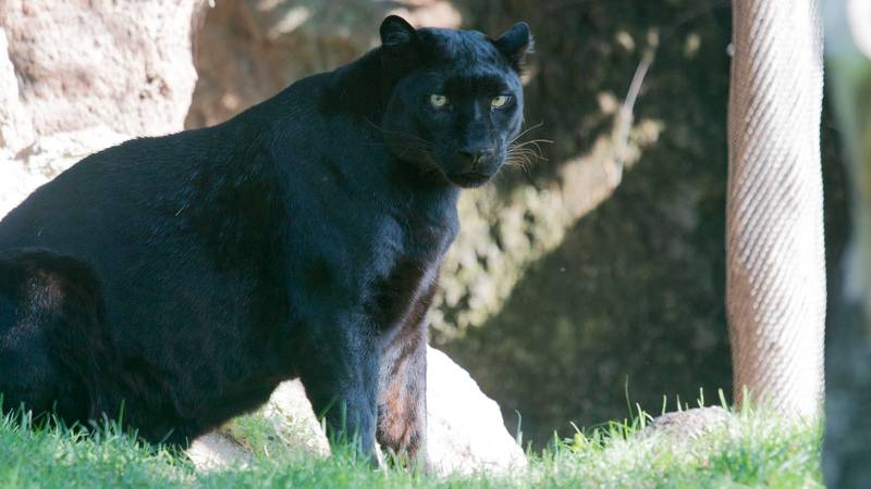 Gloucestershire Police Investigating Sighting Of A Black Panther