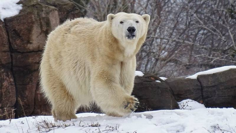 Female Polar Bear Killed By Male At Zoo During Mating Attempt