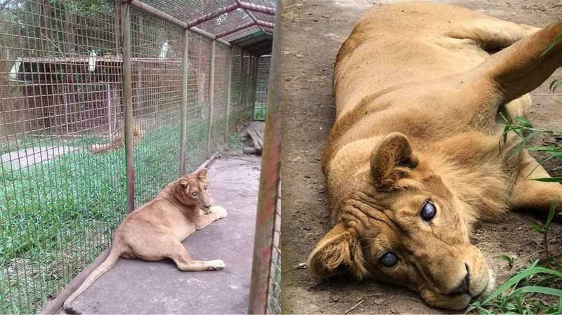 ​Blind Lioness Found 'Clearly Suffering' In Small Cage At Zoo In Philippines
