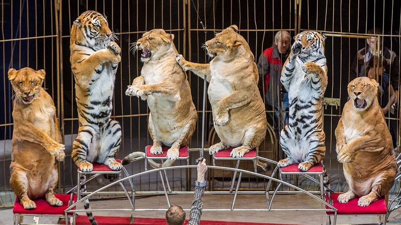 Row Emerges As 'Fat' Lions And Tigers Perform At Circus In Russia