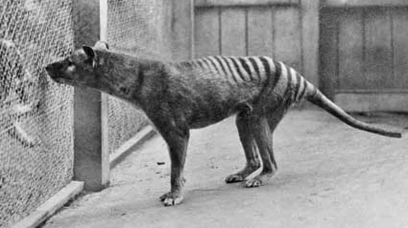Aussie Man Claims To Have 'Pretty Good' Evidence Of A Thylacine Family In NE Tasmania