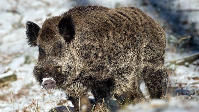Wild Boar Kills German Hunter Who Was Trying To Shoot Him