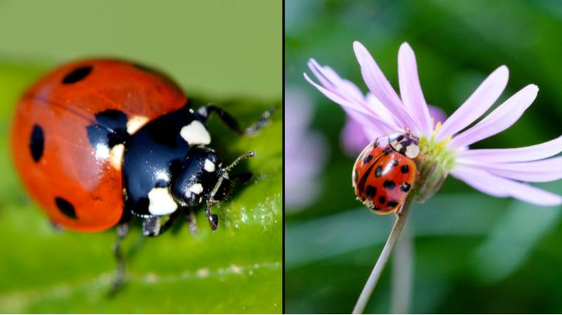 Some People Think They Can Catch STDs From Ladybirds