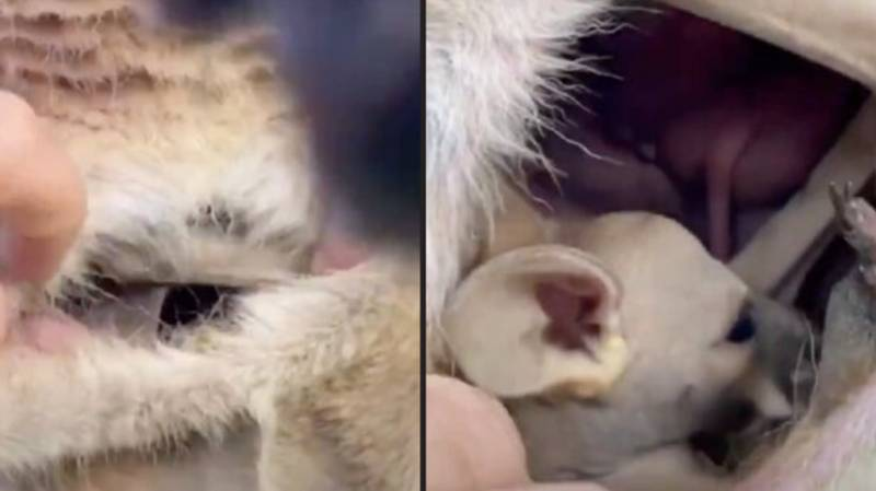 People Are Seriously Disturbed After Seeing Inside Of A Kangaroo Pouch For First Time