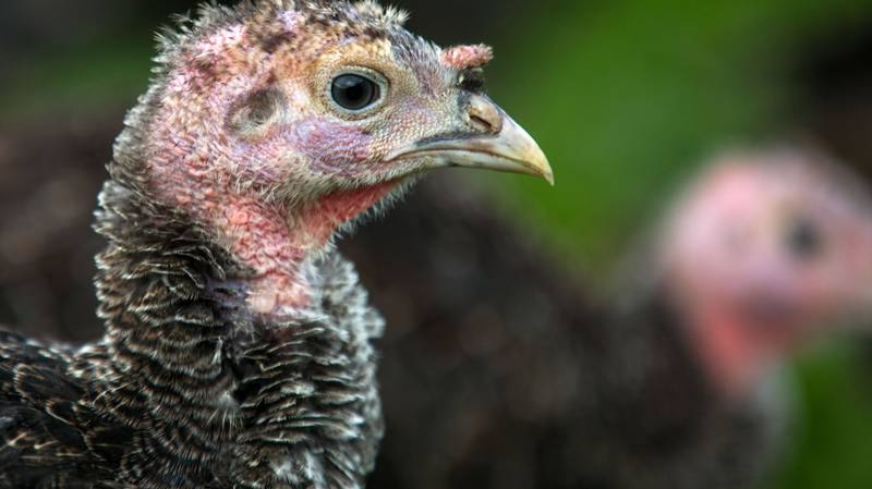Farmers May Have To Downsize Turkeys For Christmas To Fit In With Rule Of Six