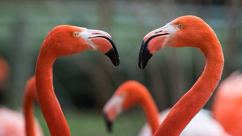 You Could Be Chief Flamingo Officer –Is This The Best Job In The World?