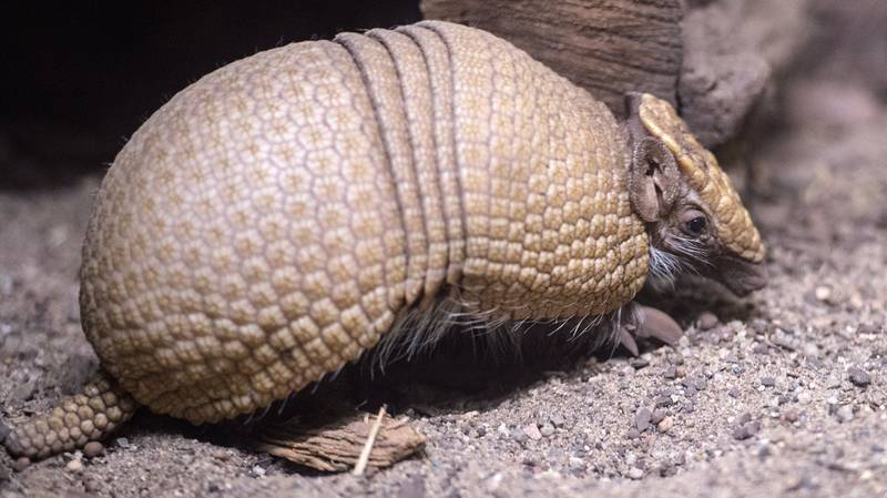 Man Accidentally Shoots Himself In Face After Bullet Ricochets Off Armadillo