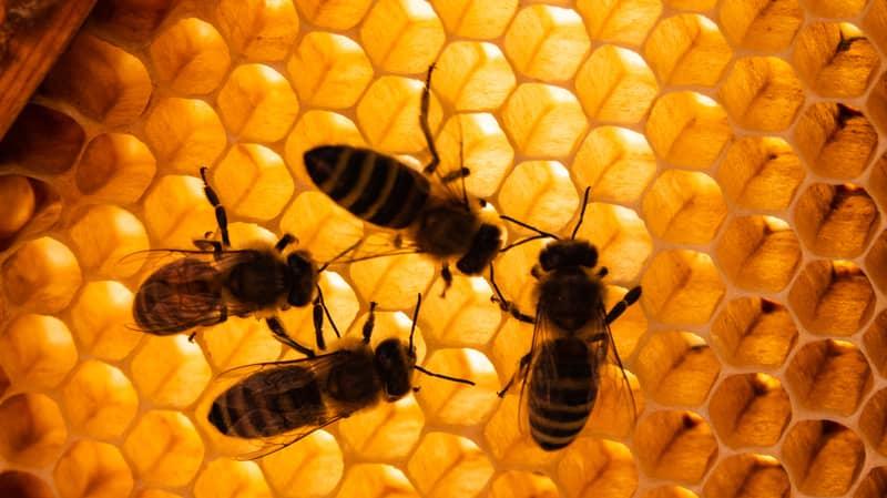 500 Million Bees Die Within Three Months In Brazil