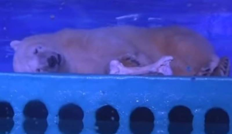 World's Saddest Polar Bear Trapped In China Could Have A New UK Home