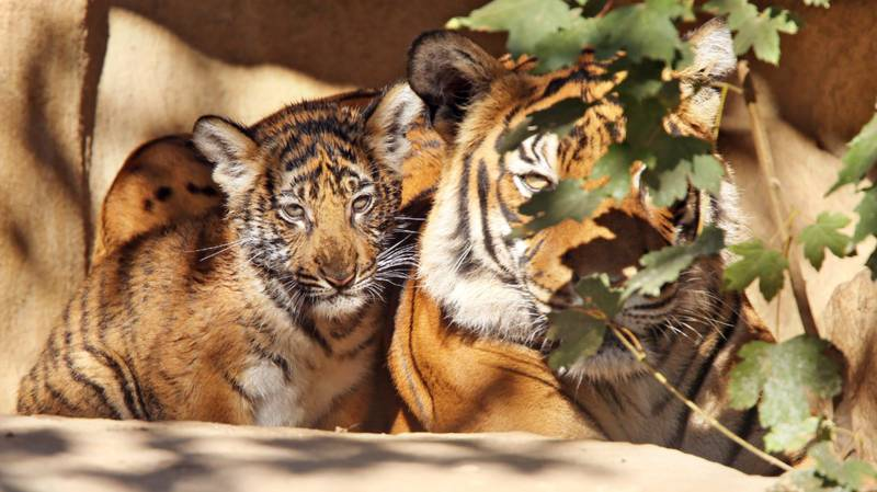 ​A Further Three Lions And Four Tigers Test Positive For Coronavirus At Bronx Zoo