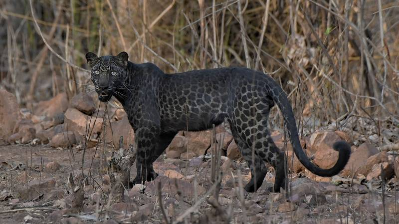 Tourist Snaps Extremely Rare Black Leopard On First Ever Safari Trip