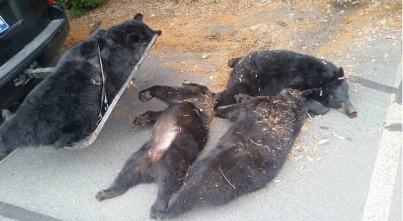 Mystery Of Family Of Black Bears Found Dead In Car Park Solved