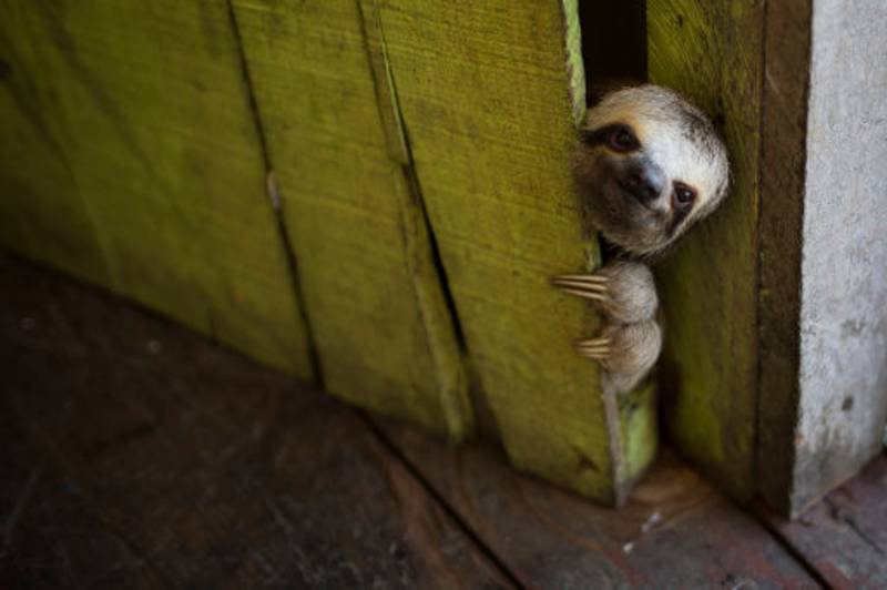 Taking A Dump Is A Fundamentally Terrifying Ordeal For A Sloth