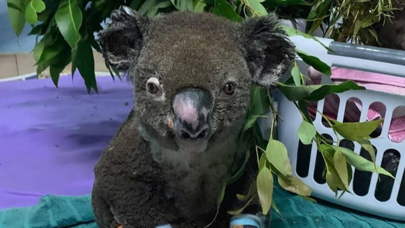 Volunteer Foster Carers Are Needed To Help Rehabilitate Bushfire Affected Animals