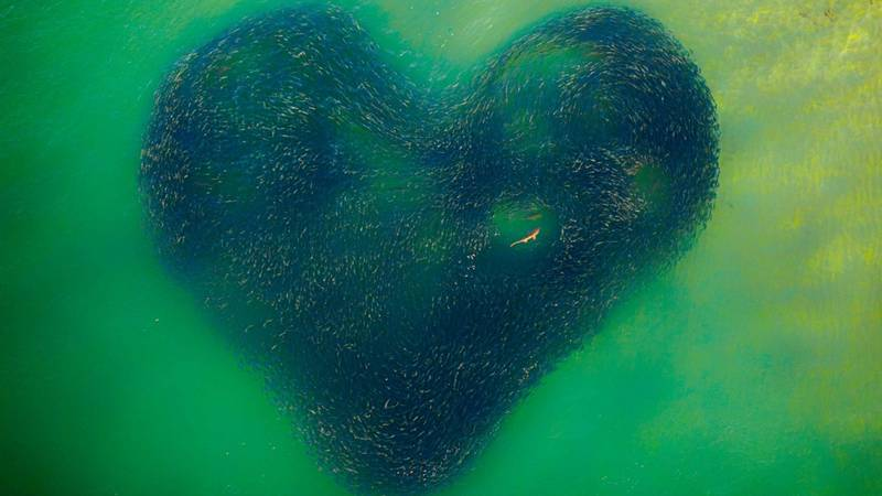 Incredible Photo Of Shark In Heart-Shaped School Of Fish Wins Photography Prize