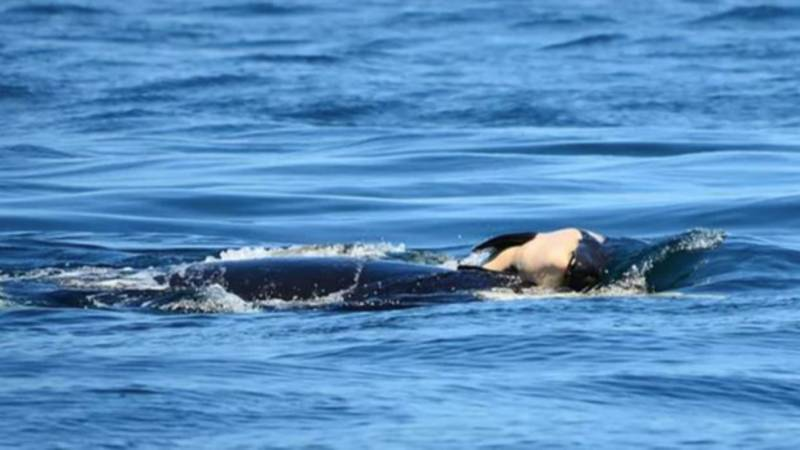 Killer Whale Pushes Around Her Dead Calf For Days