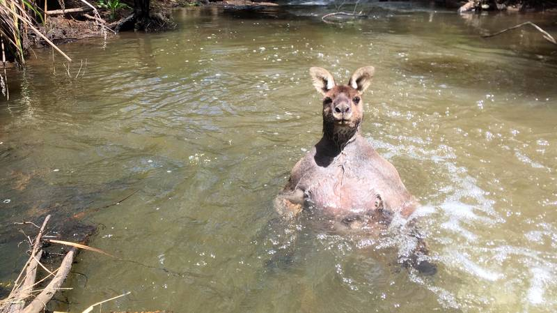 Nobody Is Messing With This Hench-As-F**k Kangaroo