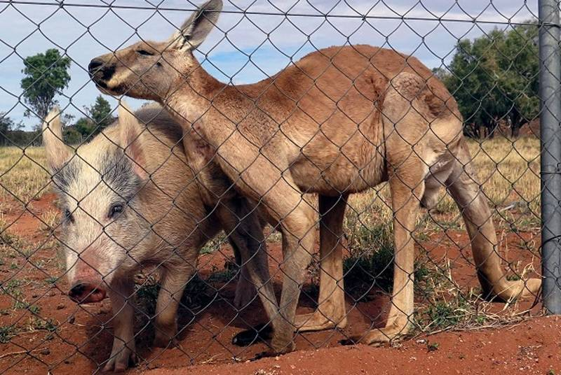 A Pig And A Kangaroo Were Caught Shagging But Carried On Because They're In Love