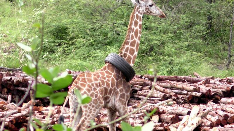 Giraffe Rescued After She Somehow Gets Tyre Stuck On Her Neck