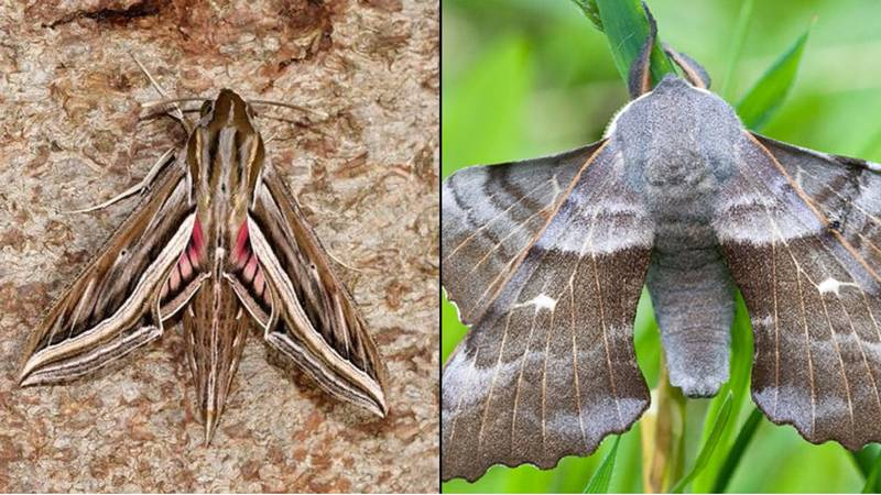 Everyone Run For The Hills Because Giant Moths Are Coming To The UK