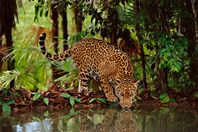 Poachers Exposed Killing Jaguars To Sell Fangs To China For Same Price As Cocaine