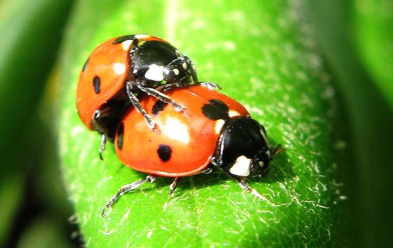 Britain Is About To Get Hit By An Influx Of STD-Riddled Ladybirds