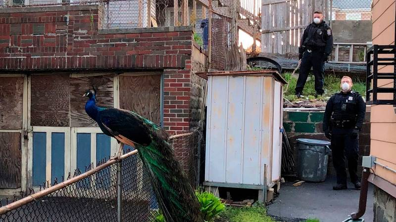 Police Officer Uses Mating Call To Lure Escaped Peacock Back To Zoo