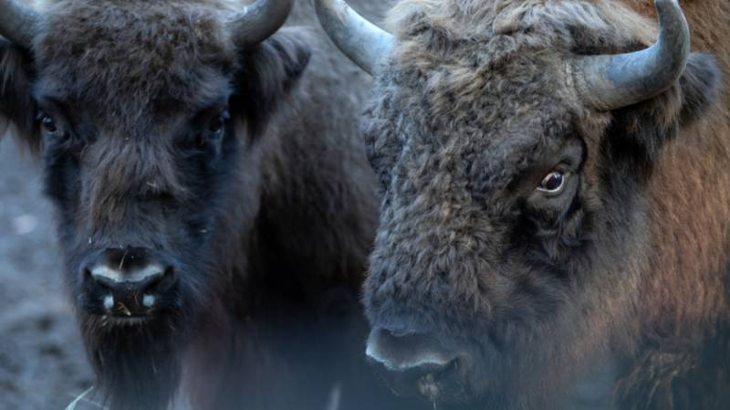 Wild Bison To Be Introduced Into The UK For First Time In 6,000 Years