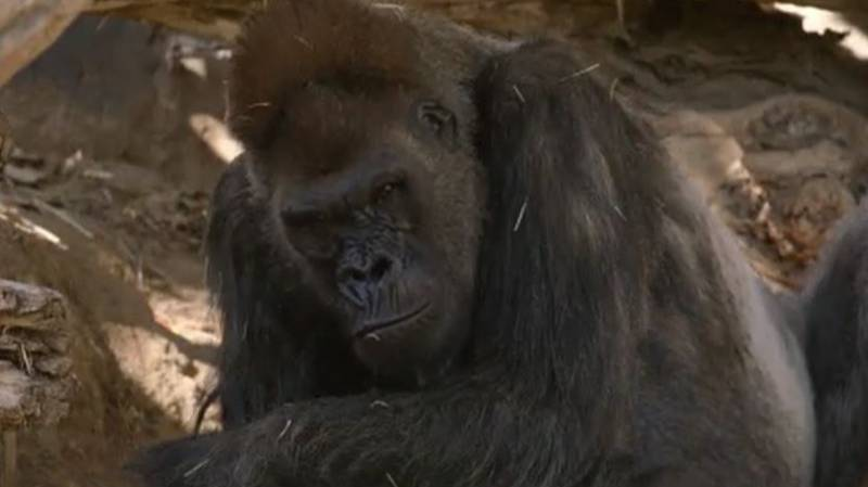Zoo Gorillas Test Positive For Coronavirus And Cough After 'Catching From Human'