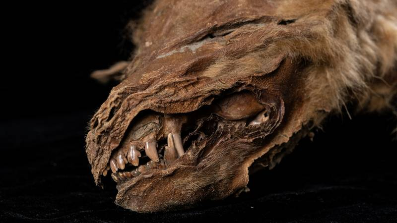 Perfectly Preserved 57,000-Year-Old Wolf Cub Found Underground In Northern Canada