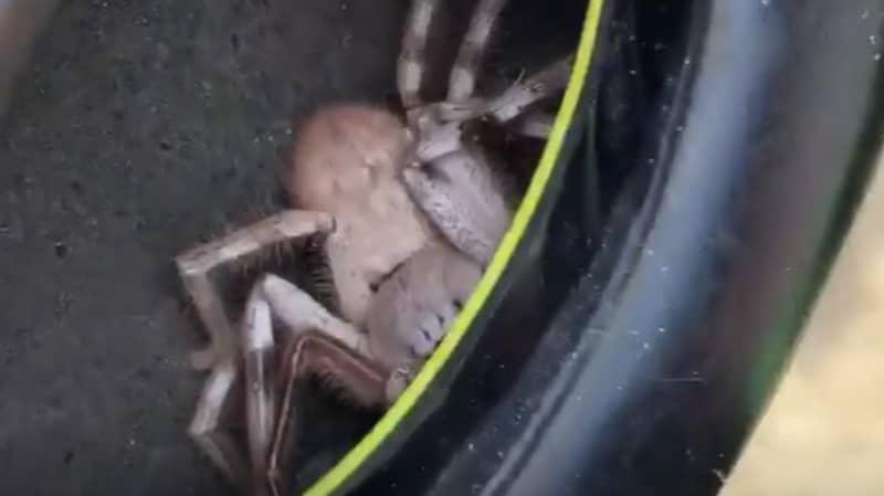 Man Who Felt Tickling In Earmuffs Discovers Huge Huntsman Spider Inside