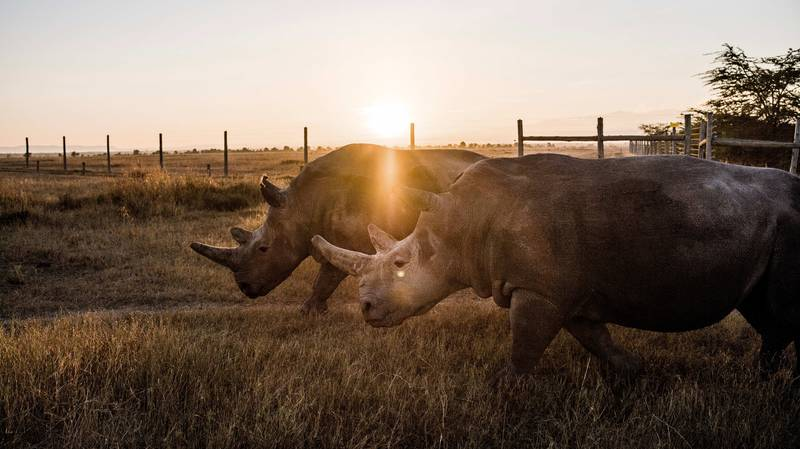 Caretakers Watch Over The Final Two Northern White Rhinos In The World