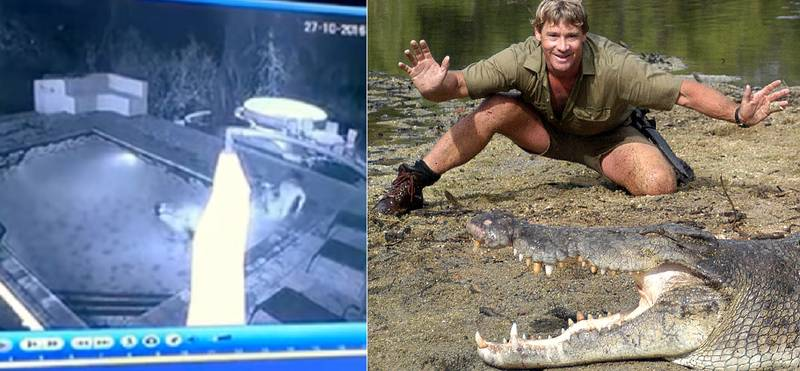 Couple Attacked By Crocodile In Swimming Pool But What Would Steve Irwin Have Done?