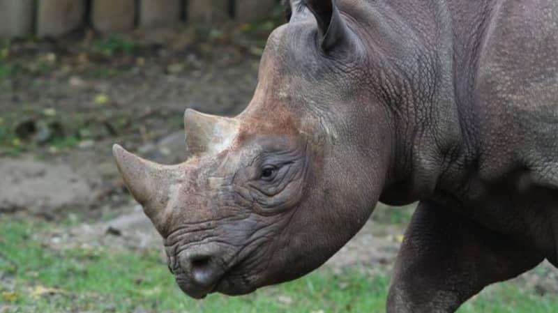 Critically Endangered Black Rhino Seyia Is Pregnant